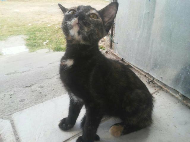 Gato para adoção - Foto 2