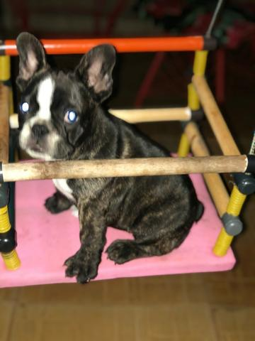 Bulldog Frances macho 75 dias