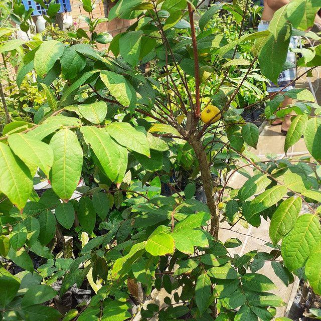 Plantas araça boi (produzindo) - Foto 3