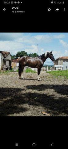 Cavalo mangalarga macha picada... - Foto 4