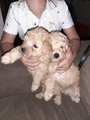 Lindos filhotes de poodle puro