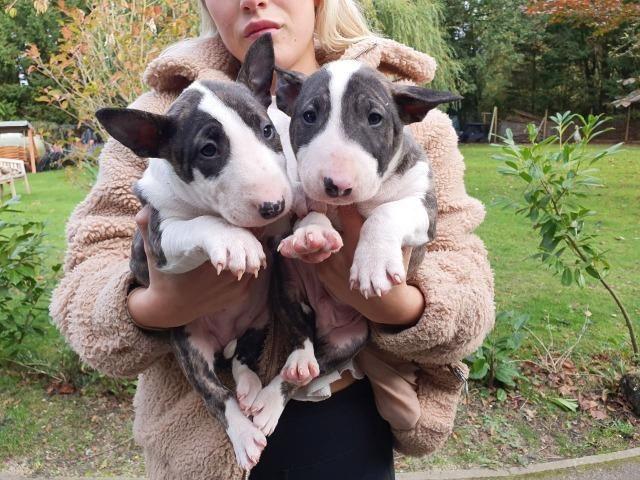 Bull Terrier Inglês somos a unica rede com clinicas veterinarias, chamar what's - Foto 3
