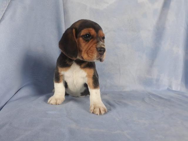 Beagle Filhotes, a única loja do pais com clinica vet própria (11)9.6842.5101 - Foto 3