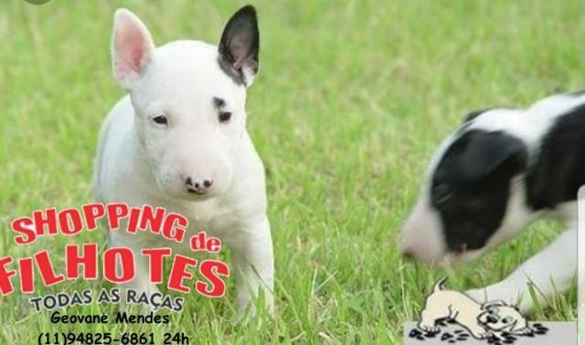 Bull Terrier Inglês LIndos filhotes com excelente padrão da raça, todos com Pedigree - Foto 2