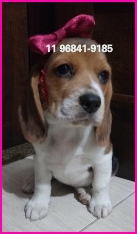 Beagle lindos exemplares a sua espera, fotos originais somos referência no mercado - Foto 2