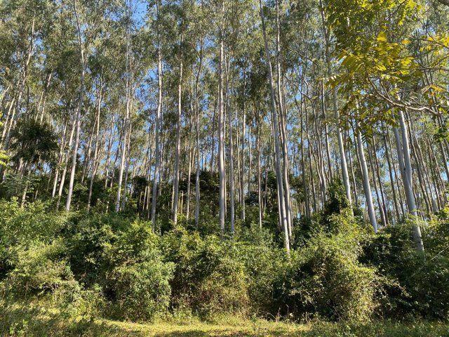 Eucalipto. Tora, torinha, lenha, escoras, madeira - Foto 2