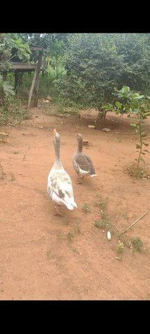 Casal de ganso  - Foto 2