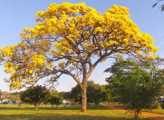 Resultado de imagem para ipê amarelo plantação