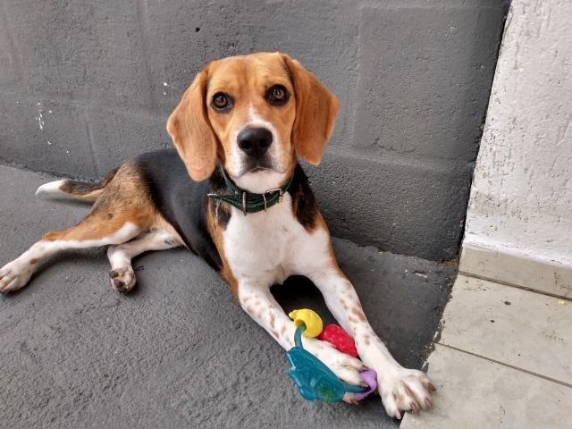 Doa- se Beagle