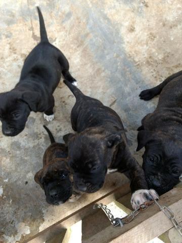 Vende filhotes de fila brasileiros