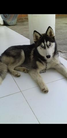 Hunsky Siberiano (Lobo) - Foto 2