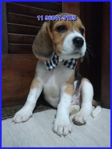 Beagle lindos exemplares a sua espera, fotos originais somos referência no mercado - Foto 3