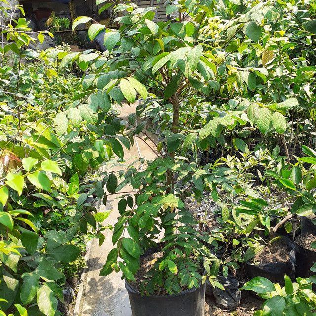 Plantas araça boi (produzindo) - Foto 2