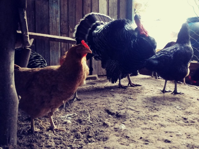 Ovos de perua - Foto 6