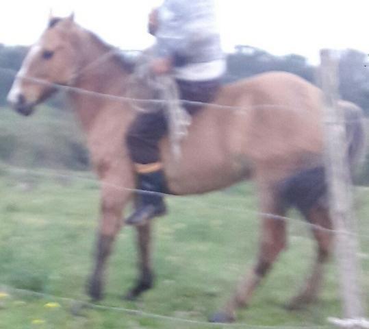 Cavalo crioulo manso de crianca 1500