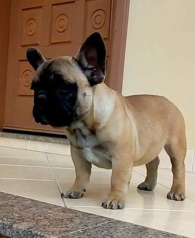 Linda filhote fêmea de bulldog francês