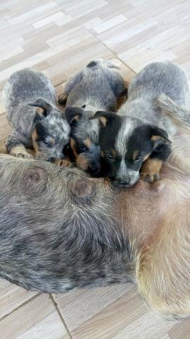 Vende-se Filhotes de boiadeiro australiano - Foto 2