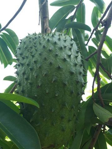 Fruta graviola muito boa .sem agrotóxico - Foto 2