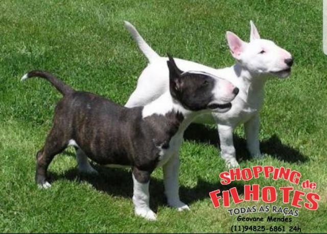 Bull Terrier Inglês LIndos filhotes com excelente padrão da raça, todos com Pedigree - Foto 4
