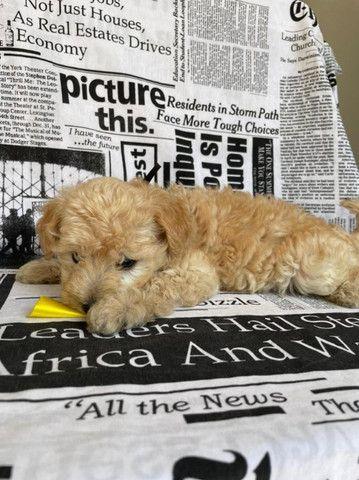 Filhotes de poodle lindos vacinados e comendo ração  - Foto 2
