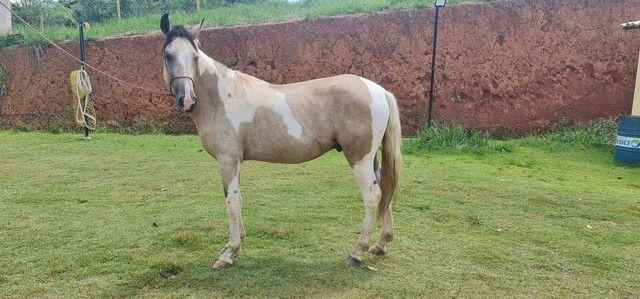 Cavalo mangalarga pampa  - Foto 4