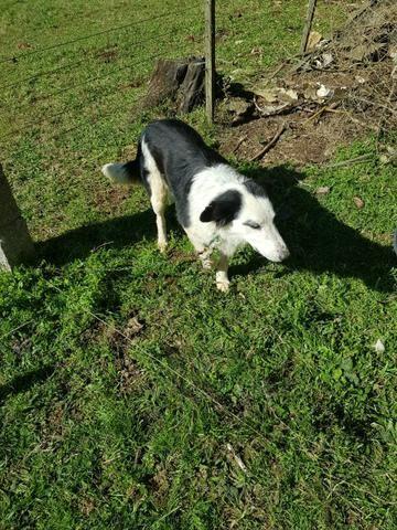 Doação de border collie cruza ovelheiro - Foto 5