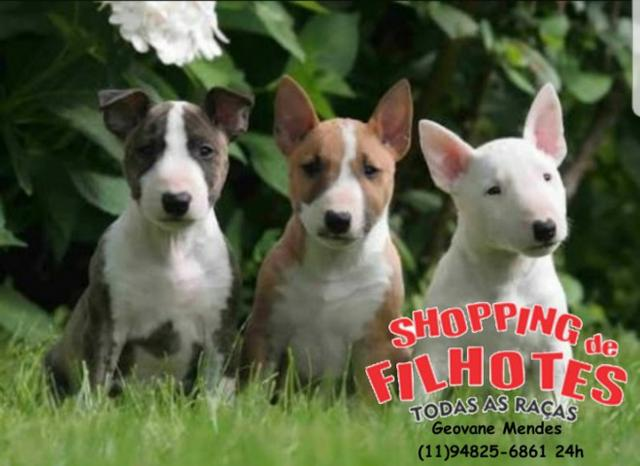 Bull Terrier Inglês LIndos filhotes com excelente padrão da raça, todos com Pedigree - Foto 3
