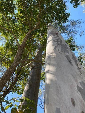 Eucalipto. Tora, torinha, lenha, escoras, madeira - Foto 3