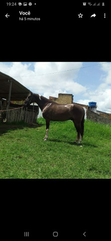 Cavalo mangalarga macha picada... - Foto 2