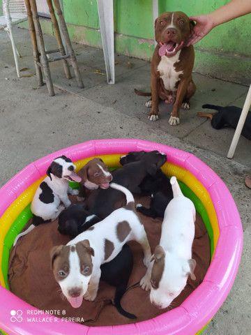 Filhotes de Pitbull disponível - Foto 5