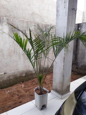 Palmeira grandes e médias.