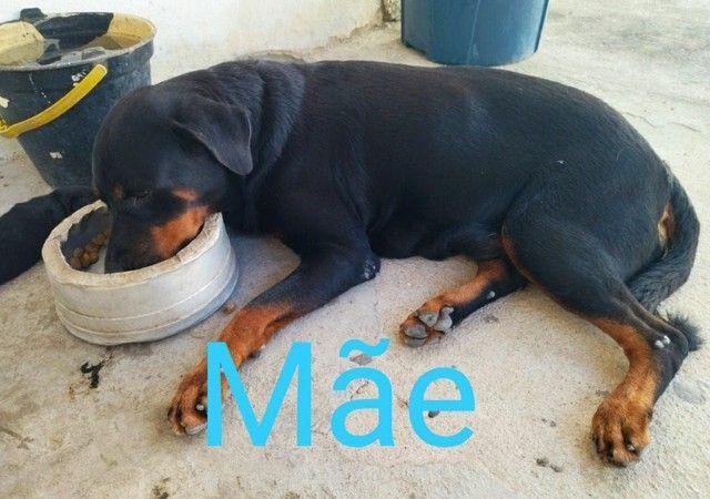 Rottweiler macho  - Foto 5