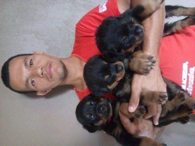 Vende se lindos filhotes de rottweiler puros de pai e mãe  - Foto 2