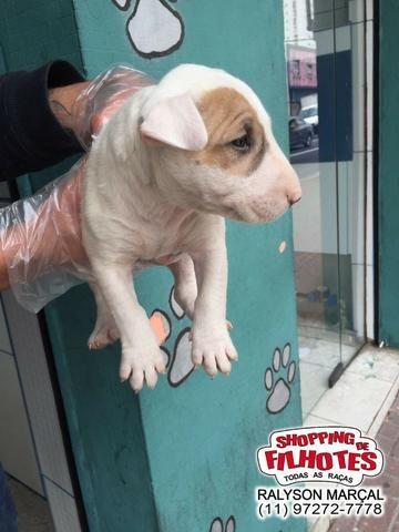 Bull Terrier Inglês filhotes de alto padrão com qualidade genética! - Foto 2