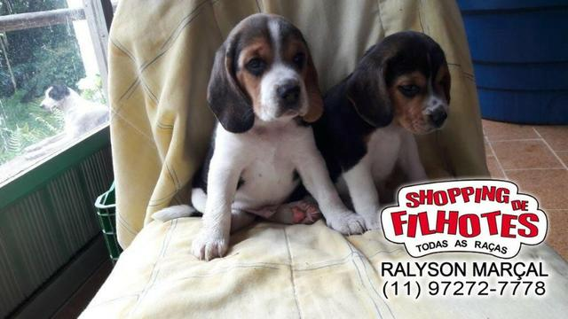Beagle mini a pronta entrega, (bicolor/tricolor) com garantia de saúde