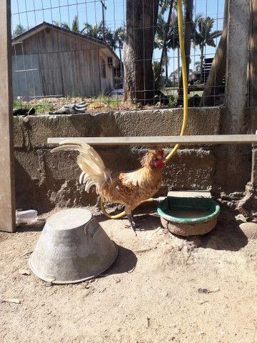 Vendo pintos de galinha polonesa - Foto 4