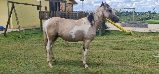 Cavalo mangalarga pampa  - Foto 5