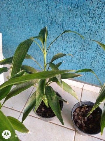Bambuzinho da sorte - Foto 4