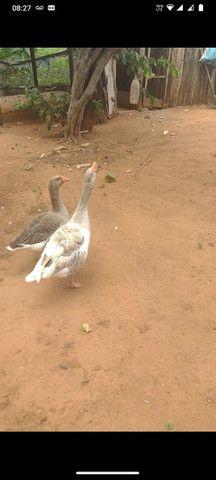 Casal de ganso