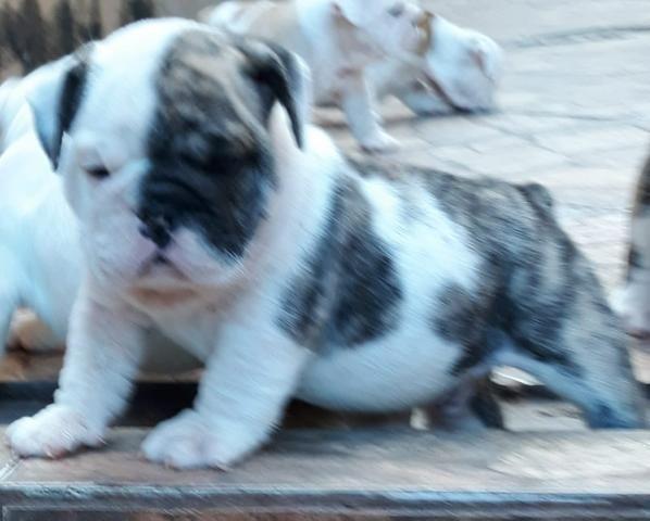 Bulldog inglês com Pedigre - Foto 2