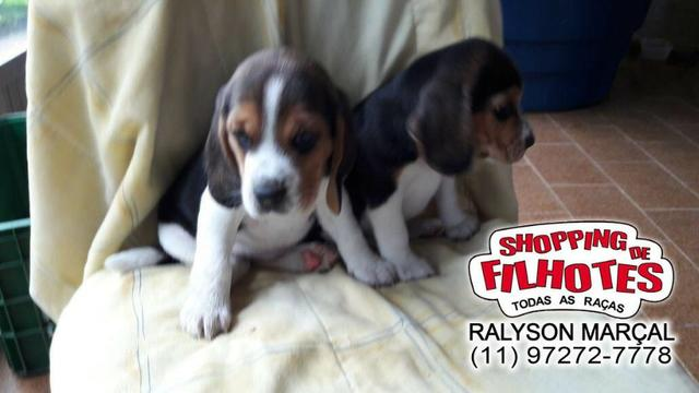 Beagle mini a pronta entrega, (bicolor/tricolor) com garantia de saúde - Foto 4