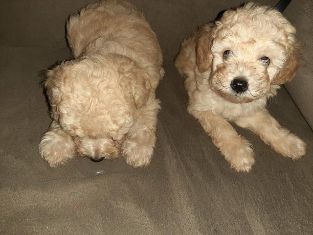 Lindos filhotes de poodle puro - Foto 6