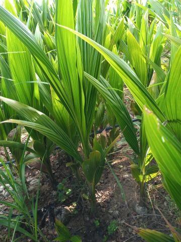 Mudas de coco anão - Foto 2