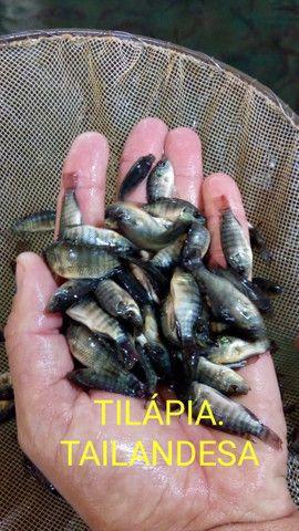 Tilapias e  outros tipos