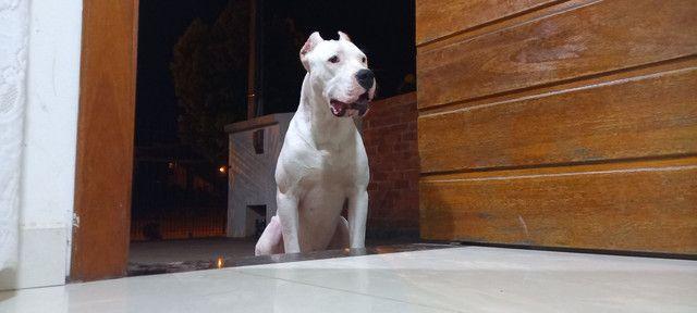 dogo argentino - Foto 5