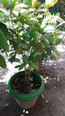 Plantas no vaso (promoção)  - Foto 2