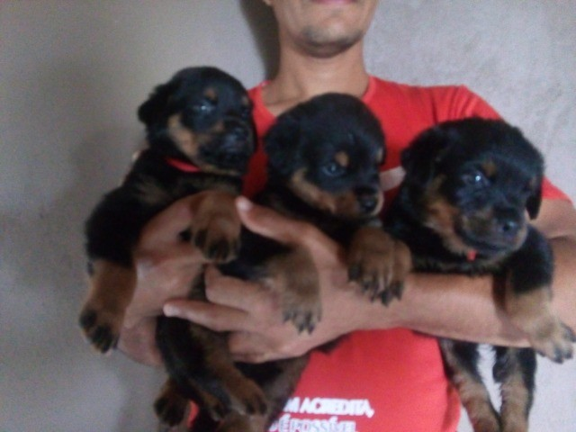 Vende se lindos filhotes de rottweiler puros de pai e mãe  - Foto 3