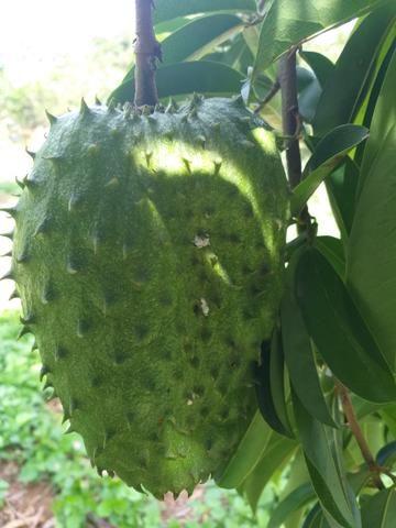 Fruta graviola muito boa .sem agrotóxico - Foto 4