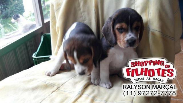 Beagle mini a pronta entrega, (bicolor/tricolor) com garantia de saúde - Foto 3