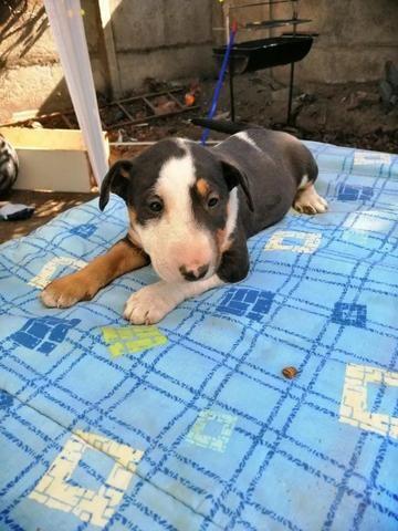 Bull Terrier Inglês pirata/fulvo/tricolor/white e black brindle, machos e fêmeas! - Foto 3